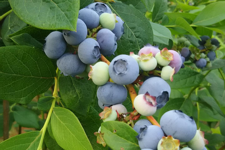 【神奈川・秦野・ブルーベリー狩り】13種類ものブルーベリーを収穫!摘み取り&食べ放題プラン(1時間)