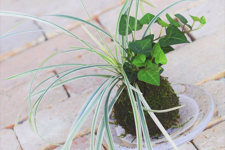 【岡山・倉敷・苔玉作り】心落ち着く田園地帯で楽しむ苔玉作り